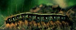 Eastern tent caterpillar close-up